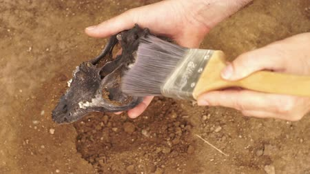vizsgálat : Close up shot of an anonymous anthropologist or crime scene investigator holding a recently excavated animal skull in his hand and brushing off the loose dirt.