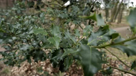 POV handheld shot of the viewer moving towards and into a green and prickly branch on the the traditional Christmas symbol of a holly tree. Stock Footage