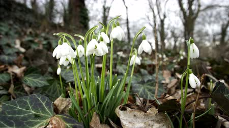 Close up dolly shot of the first signs of spring weather and Snowdrop flowers, with the botanical name Galanthus, showing off their blooms. Stock Footage