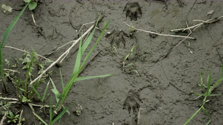 следы : Locked down overhead shot of raccoon animal footprints that were left in wet mud by the wild animal. Стоковые видеозаписи