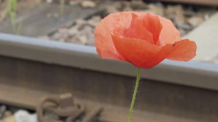 wwi : Pull focus shot between train tracks and a common poppy which is the symbol of remembrance for the fallen soldiers during the wartime of World War one.