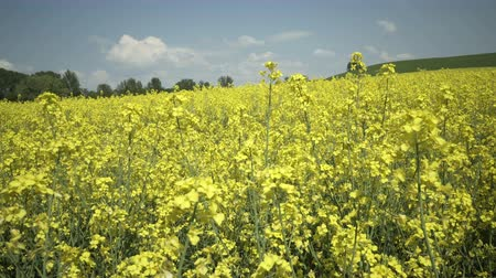 Static shot of a field of an industrial scale rapeseed or canola plantation which is used to make vegetable oils for human consumption and biodiesel fuels.
