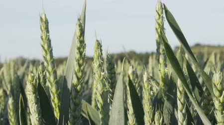 Static closeup shot of unripe green wheat on an industrial scale farm in the agriculture industry that produces food crops.