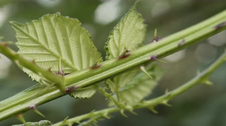 Close up shot of the thorns on the stem of a wild blackberry bush bramble. Stock Footage