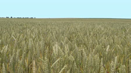 Close up shot of dry wheat ready for harvest tilting up to reveal a large agricultural industrial scale plantation wheat field that goes off into the skyline.