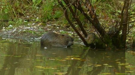 myocastor : Cute wild furry coypu river rat, nutria eating on riverside near the green grass, close up Stock Footage