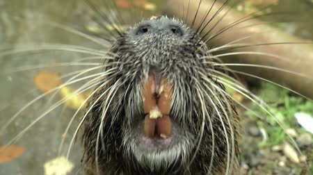 myocastor : Cute wild furry coypus river rat, nutria eating bread on the riverside Stock Footage