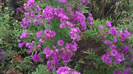 konzervace : Lavender aster flowers bloom in an autumn garden at The Fells in the John Hay National Wildlife Refuge in Sunapee, New Hampshire.