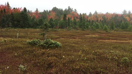 northeast : Wetlands vegetation at Criscenti Bog in New London, New Hampshire, including peat mosses, black spruce, and cottongrass, has grown over what was once open water of a post-glacial pond. Stock Footage