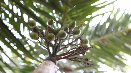 betel : Areca nut - low angle, shallow-depth-of field shot Stock Footage
