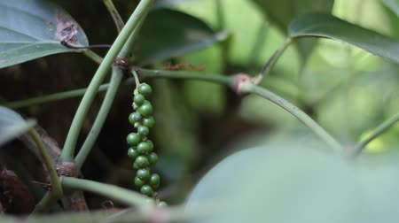 biber : Black pepper plant
