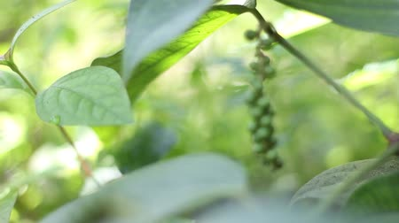 spices : Black pepper plant -Focus in shot Stock Footage