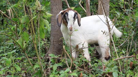 Domestic goat eating green leaves