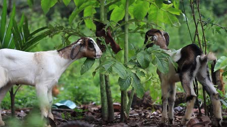 Domestic lambs eating Yam leaves