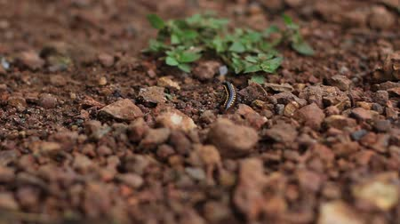 Yellow-spotted millipede walking through pebbles - Shallow depth of field shot, Follow focused Dostupné videozáznamy