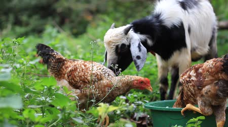 Chickens and Goat eating from the same plate