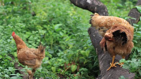 Chickens resting on a tree trunk and scratching