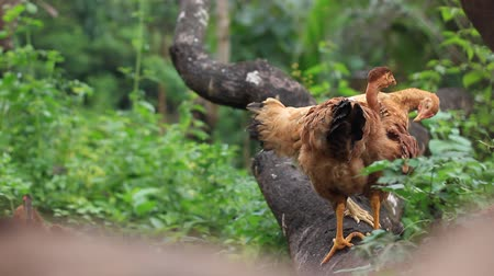 Chickens resting on a tree trunk and scratching, man passing by in the background