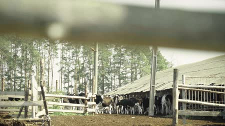 dairy barn : Cow (cows) on the farm. Agriculture Stock Footage