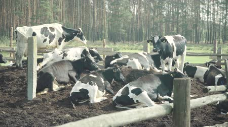 beef stock : Cow (cows) on the farm. Agriculture Stock Footage