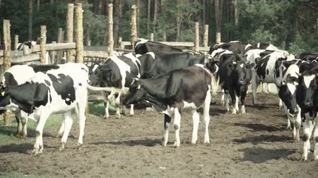 meat stock : Cow (cows) on the farm. Agriculture Stock Footage