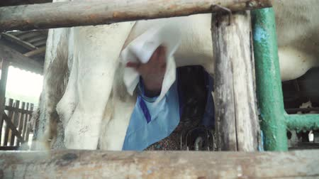 vemeno : Milking cows on the farm. Agriculture