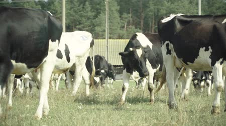 cow milk : Cows on a pasture farm