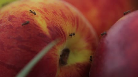 pears : Ants on fruit. Close-up. Macro Stock Footage