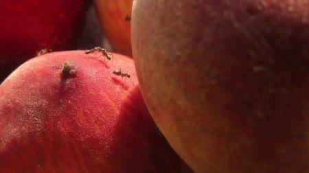 fetus : Ants on fruit. Close-up. Macro Stock Footage
