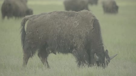 bika : Bison in a field on pasture. Slow motion