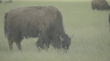 szervezett : Bison in a field on pasture. Slow motion