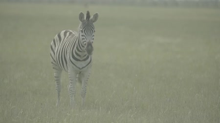 býložravý : Zebra (zebras) in the field. Slow motion