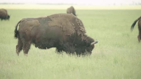 búfalo : Bison in a field on pasture. Slow motion