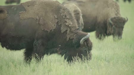 beef stock : Bison in a field on pasture. Slow motion
