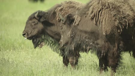 prairie : Bison in a field on pasture. Slow motion