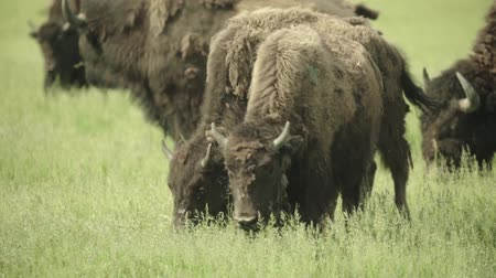 drove : Bison in a field on pasture. Slow motion