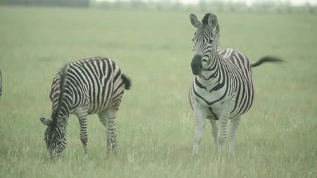drove : Zebra in the field. Slow motion Stock Footage