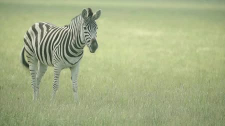 troop : Zebra in the field. Slow motion Stock Footage