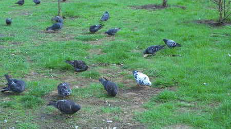 dovetail : Pigeons on the grass