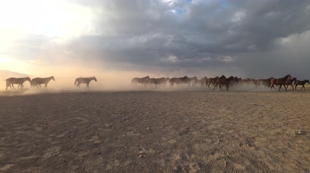 ranč : Wild Yilki horses running gallop and kicking up dust