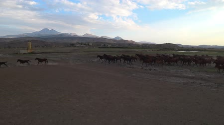 galope : Kayseri, Turkey - August 2017: Wild Yilki horses running gallop and kicking up dust