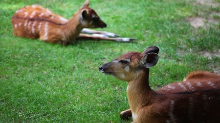 antilop : Two young Antelope Sitatunga relaxing on the pasture