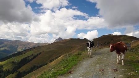 луг : White and brown cows on the way in the mountain