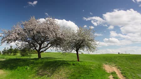 kurs : Flowering trees in the wind on a empty golf course