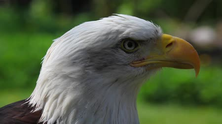 calvo : Ritratto di Bald Eagle (Haliaeetus leucocephalus washingtoniensis)