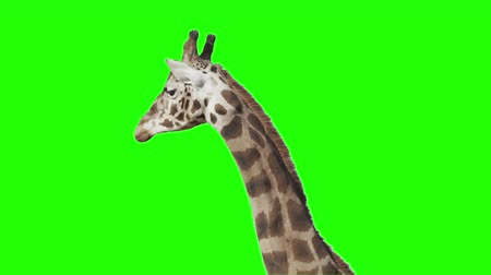 жираф : Giraffe in front of green screen. Ready to be keyed. Стоковые видеозаписи