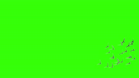 утки : Flying flock of birds on green screen.