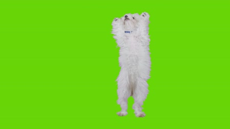 щенок : Sitting excited dog gets up on foot and dances on green screen.