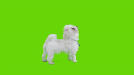 colarinho branco : Sitting excited dog gets up on foot and turns around still on its two feet on green screen