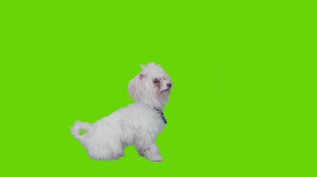 colarinho branco : Waiting dog sits and lies down on green screen. Stock Footage